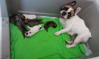 vinci_suzi_puppies_french_bulldog1.jpg