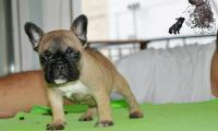 vinci_suzi_puppies_french_bulldog4.jpg