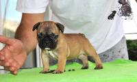 vinci_suzi_puppies_french_bulldog6.jpg