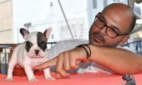 vinci_suzi_puppies_french_bulldog8.jpg
